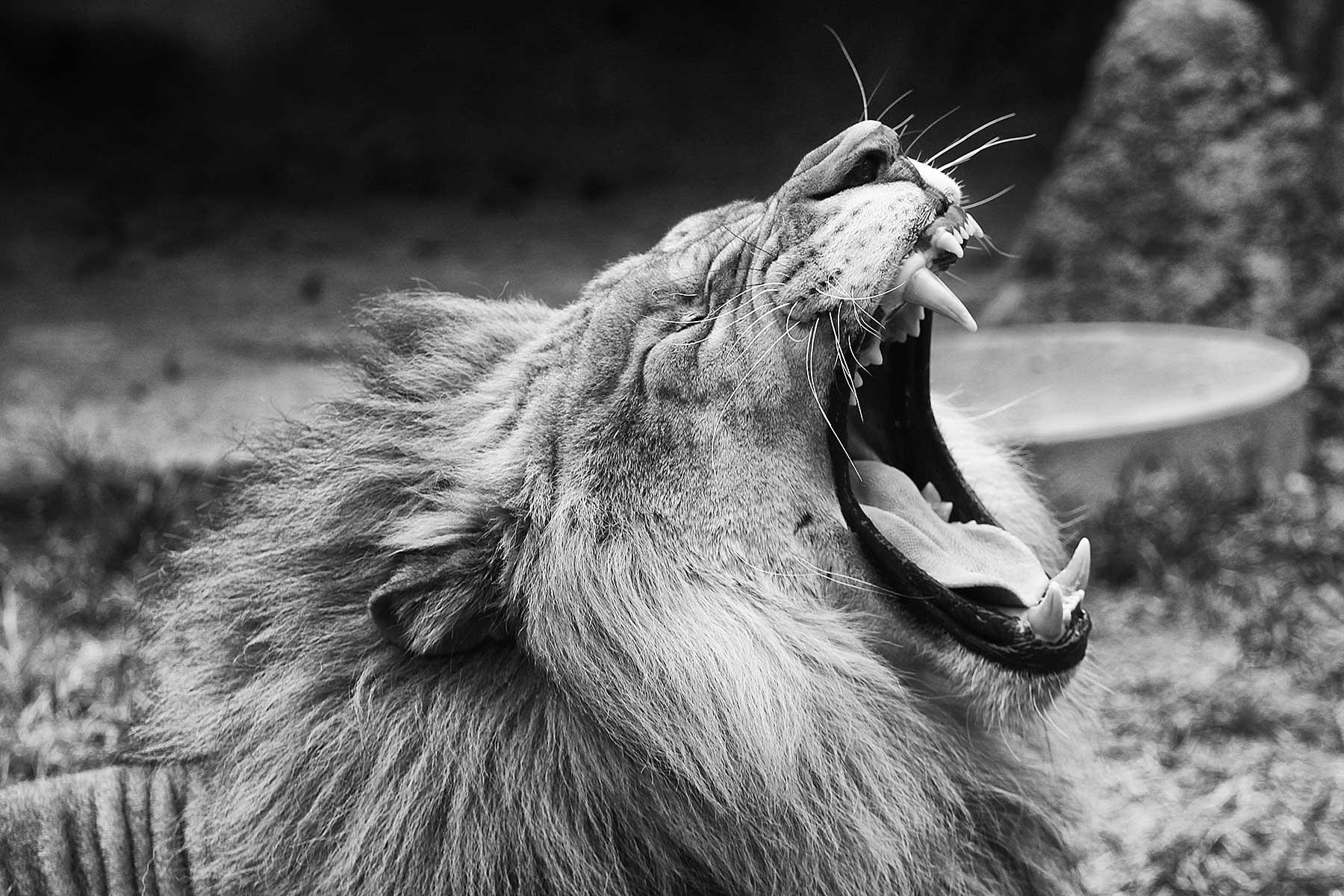 lion philadelphia zoo